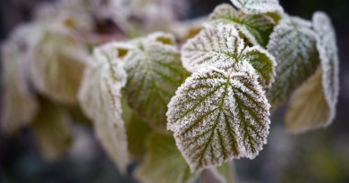 Closeup of a frozen raspberry leaves on a branch