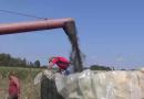 Žetva suncokreta u Mačvi- U Mačvanskom ataru 05.09.2017.
