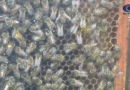 Plodovi Mačve – Pčelarstvo 22.10.2019